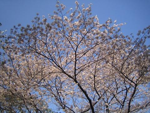 220403かもん山公園でお花見 (9).JPG
